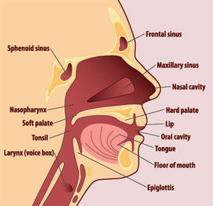 Head and neck cancer guide radiation oncology associates falls diagram of the structures of the mouth and throat head and neck cancers include cancer cells in any of these areas ccuart Gallery